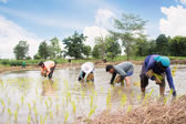 Group Of Thai Farmer Work On Rice Plantation,Dramatic Look — Stok fotoğraf