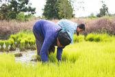 Lavoro contadino thailandese in piantagione di riso, aspetto drammatico — Foto Stock
