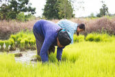 Thai Farmer Work On Rice Plantation,Dramatic Look — Stock Photo