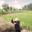 Thai Farmer Working On Rice Plantation — Стоковая фотография