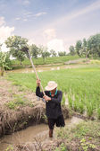 Thai Farmer Working On Rice Plantation — Stock Photo