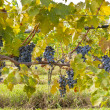 Grapes on the Vine - Stockfoto