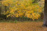 Yellow maple in autumn forest — Stock Photo