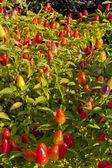 Ornamental pepper plant in a garden — Stock Photo