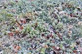 Bevroren gras — Stockfoto