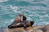 Sea Lions — Stock fotografie