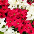 Stock Photo: Red and white poinsettias, Christmas flowers