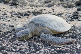 Sea turtle on the rocky, black and white beach. — Stock Photo