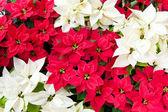 Kırmızı ve beyaz poinsettias, yılbaşı çiçekleri — Stok fotoğraf