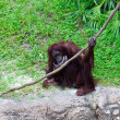 Stock Photo: Orangutwith rope.