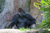 Male Gorilla — Stock Photo