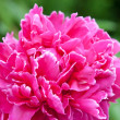 Stock Photo: Peony flower