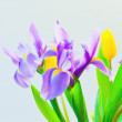 Stock Photo: Fresh spring tulips and iris flowers on bluish background. sele