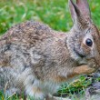 Close up of brown rabbit in grass — Stock Photo #19723265