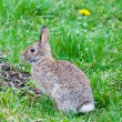 Close up of brown rabbit in grass — Stock Photo #19723269