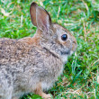 Close up of brown rabbit in grass — Stock Photo #19723291