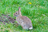 Close up of brown rabbit in grass — Stock Photo