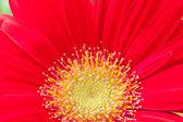 Red gerbera daisey close up. — Stock Photo