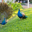 Two peacocks in a garden of tropical resort. — Stock Photo