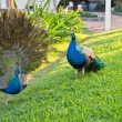 Two peacocks in a garden of tropical resort. — Stock Photo #21646597