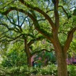 Oak tree with moss in Savannah square - Stock Photo