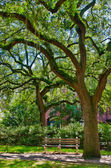 Oak tree with moss in Savannah square — Stock Photo