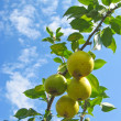 Pear tree against blue sky — Stock Photo #22344259