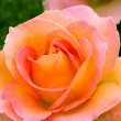 Stock Photo: Beautiful pink yellowish rose in garden.