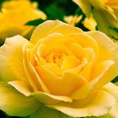 Krásná žlutá růže v zahradě. — Stock fotografie