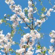 Stock Photo: Blossoming cherry