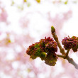 Stock Photo: Ash tree buds at spring