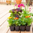 Greenhouse packs of Marigold, Geranium and Coleus flowers ready — Stock Photo