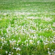 Field of dandelions at countryside. — Stock Photo
