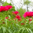 Peony flowers garden. — Stock Photo