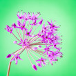 Decorative allium flower on abstract bright background — Stock Photo