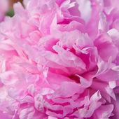 Fluffy pink peony. — Stock Photo