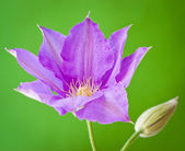 Clematis flower on green background. — Stock Photo