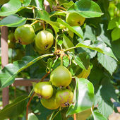 Fresh crop of pears growing on pear tree. — Stock Photo