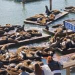 California sea lions at Pier 39, San Francisco, USA — Stock Photo