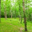 Stock Photo: Beautiful green forest at sunny summer day.