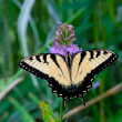 Stock Photo: Beautiful Eastern Tiger Swallowtail butterfly (Papilio glaucus)