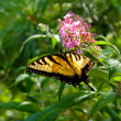 Beautiful Eastern Tiger Swallowtail butterfly (Papilio glaucus) — Stock Photo