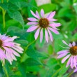 Echinacea purpurea, purple coneflower — Stock Photo