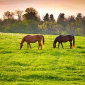 Hästar på jordbruksmark — Stockfoto