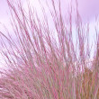 Ornamental purple grass. — Stock Photo