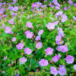 Stock Photo: Purple geranium flowers in garden.