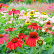 Stock Photo: Colorful echinacegarden in summer