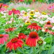 Foto de Stock  : Colorful echinacegarden in summer
