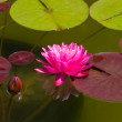Stock Photo: Water lily flower blossom in pool