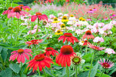 Colorful echinacea garden in summer — Stock Photo